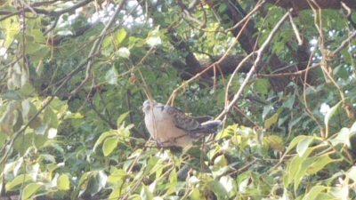 DSC 0087 400x225 怪我したハト?を保護し、元気になったので森で放してきました。